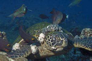 turtle tumour