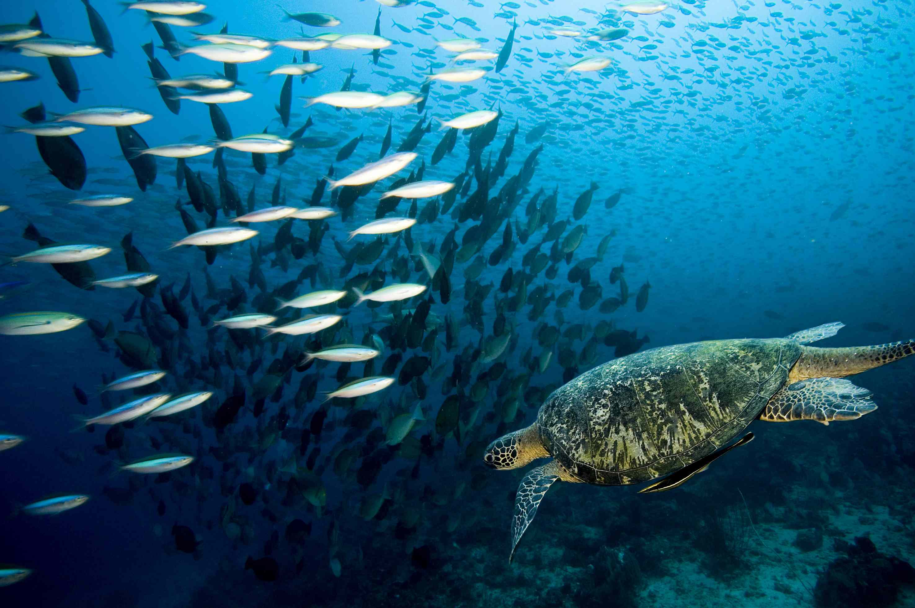 Caretta Caretta Turtle